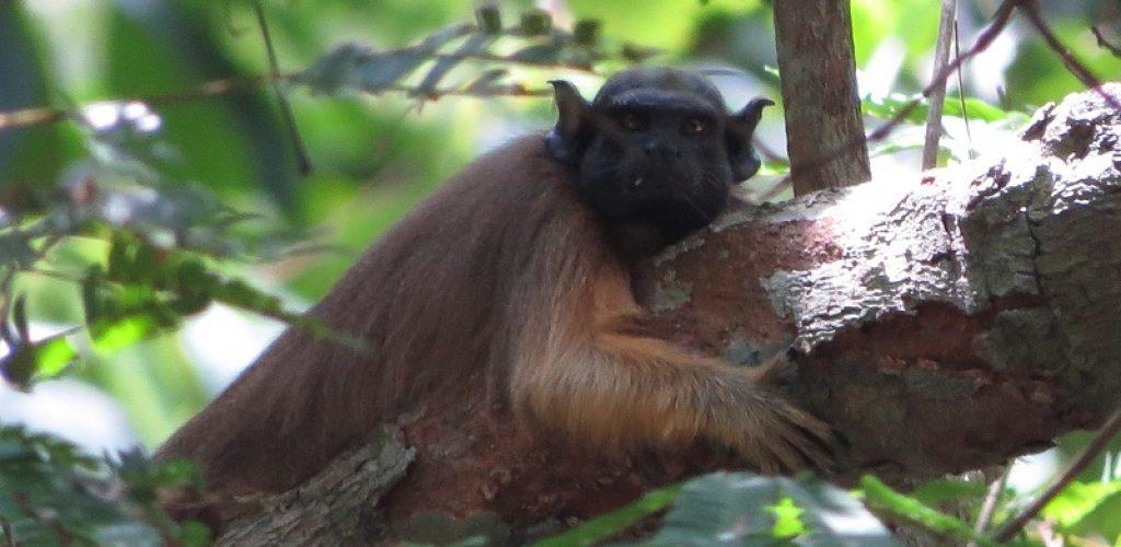 Primata Sauim_Foto Rodrigo Chagas (3)